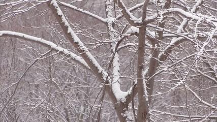 Snowfall on the tree in Mt.Hakkoda,Aomori,Japan_2