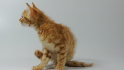 red kitten cat scratching from fleas