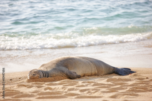 A photo of a Monk seal at Waikiki Beach