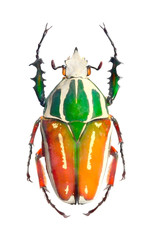 The Goliath beetle (Scarabaeidae).