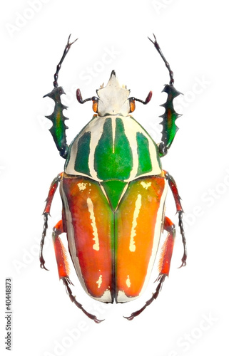 The Goliath beetle (Scarabaeidae).