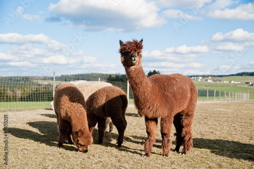 Brown Alpacas