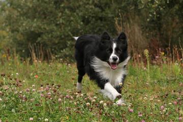 énergie et dynamisme du chien de berger