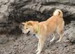shiba inu on a hike