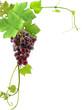 grappe de raisin et feuilles de vigne, coin de page