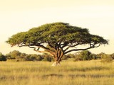Fototapety Acacia on the African plain