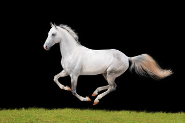 white beautiful horse isolated on black