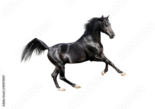 black expressive arab horse isolated on white