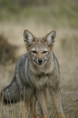 portrait of pampas fox, patagonia - argentina