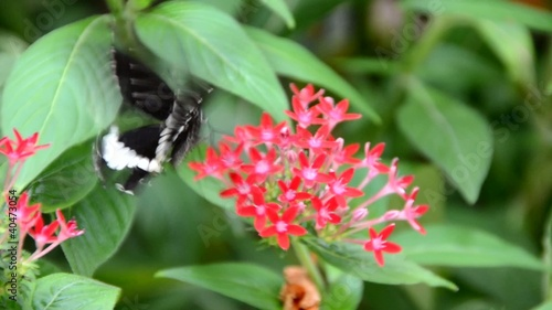 Black and White Helen butterfly enjoying it's meal on red Ixora.