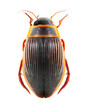 The great diving beetle (Dytiscus marginalis).