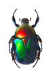 The Scarabaeus -  Dung beetle.