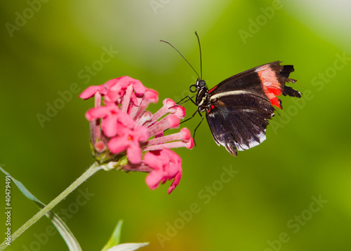 Red Postman Mimic Butterfly