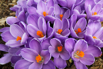 Clump of purple crocus flowers