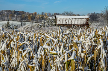 Snow Covering Corn in Field