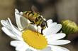 Macro of black and yellow fly feeding on daisy flower
