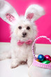 Easter dog with bunny ears and eggs