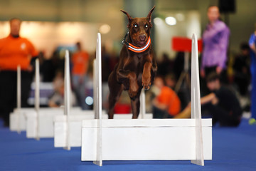 Brown dog jumps over white barrier at dogshow