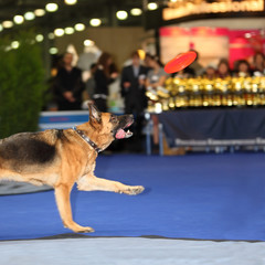 Dog jumps and tries to catch disc - demonstration of training