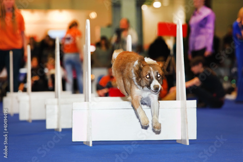 Dog jumps over barrier at dogshow - demonstration of training