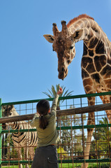 A Young Girl Feeding Giraffe at the Zoo