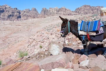bedouin donkey in stone dessert of Petra