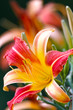 Yellow-red day lily