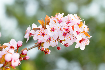 ornamental red apricot branch with flowers - close-up