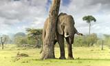 Fototapete Bull - Mara - Säugetiere