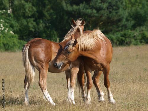 Young Suffolk Punch Horses Grooming