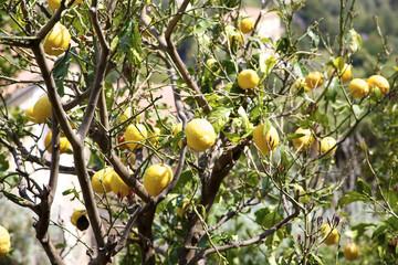 Many big lemons on a tree