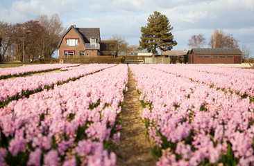 Beautiful hyacinth field in Holland