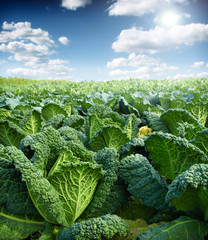 green kale,field