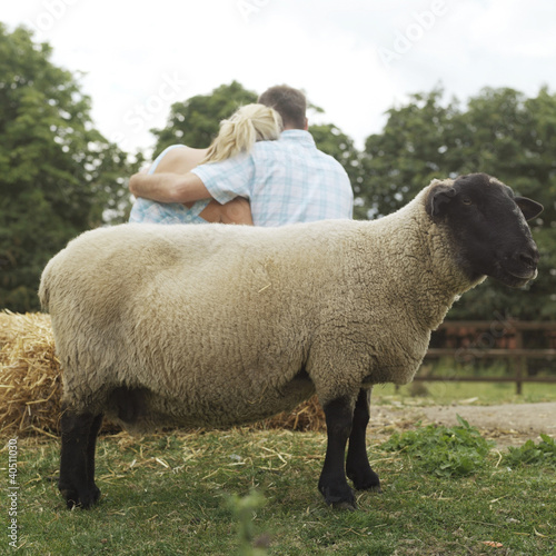 Sheep in the farm, man and woman embracing in the background