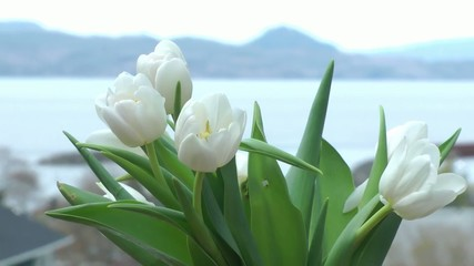 white tulips sway in a Spring breeze