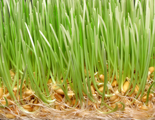 Wheat sprout