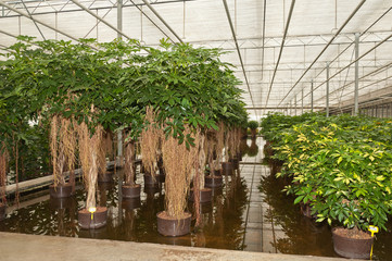 Schefflera plants in a hydroculture nursery
