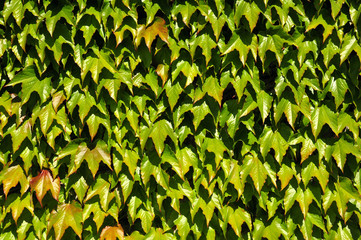Background of green Japanese creeper leaves