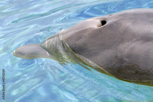 Deurstickers Dolfijn Closeup bottlenose dolphin (Tursiops truncatus) with blowhole