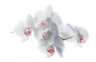 Orquidea blanca roja