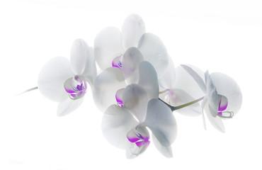 Orquidea blanca violeta