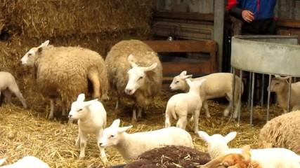 sheep with lamb