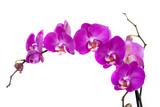 Fototapety орхидея на белом фоне