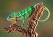 Panther Chameleon - 40528090
