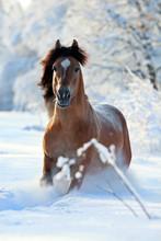 Bay Pferd laufen im Winter