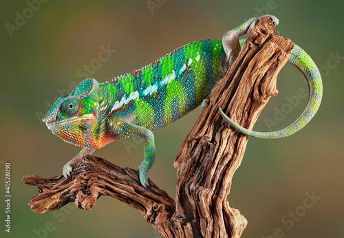 Papiers peints Cameleon Panther Chameleon