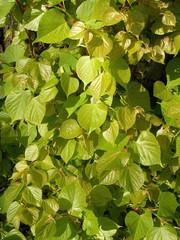 Lindenblätter tilia