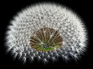 Dandelion Seeds on Black, 3d Generated Arrangement