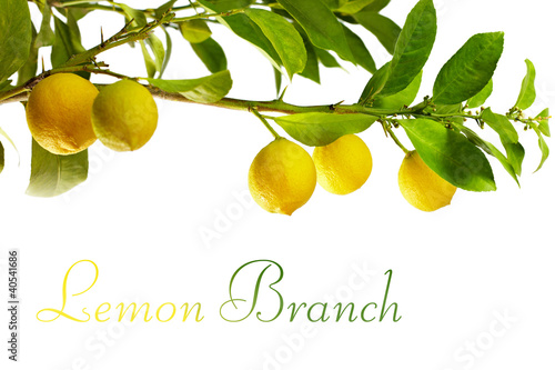 branch with fresh ripe lemon fruits, isolated