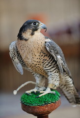 arab falcon bird